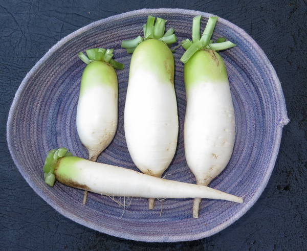 Alpine and Miyashige radishes