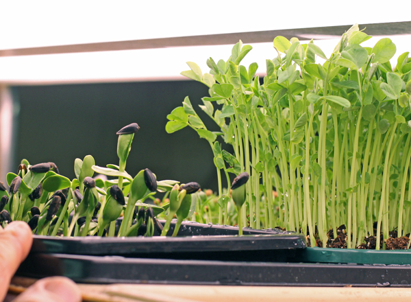 sunflower and pea shoots