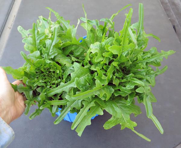 harvest of Tall Oaks lettuce