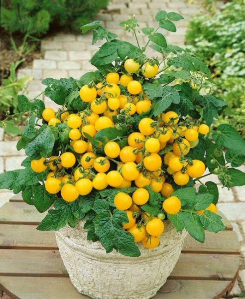 Tomato Patio Choice Yellow