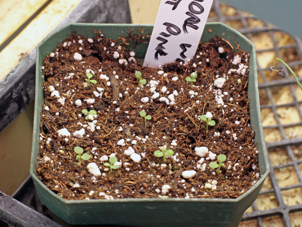 petunia seedlings at 8 days from seeding