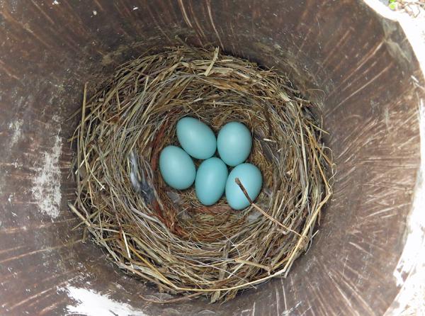 bluebird nest with 5 eggs