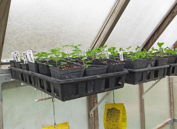 flats on greenhouse shelf