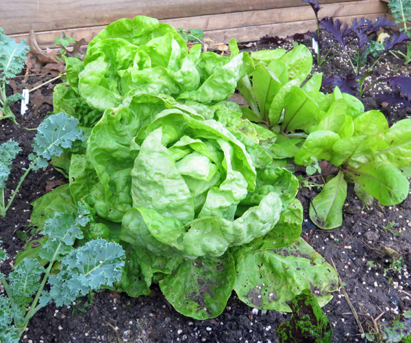 Wonder of Stuttgart lettuce