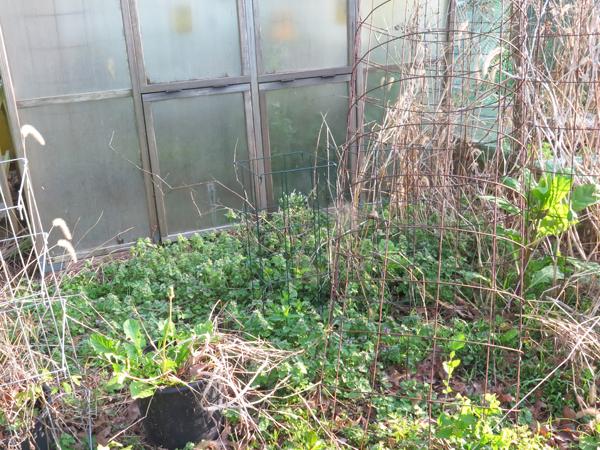 weedy area behind greenhouse