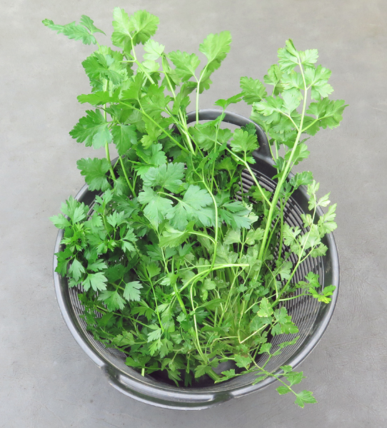 harvest of overwintered parsley