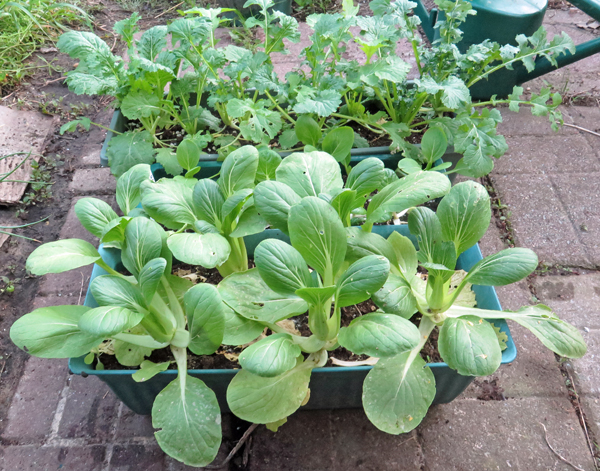pac choi and mizuna in planters
