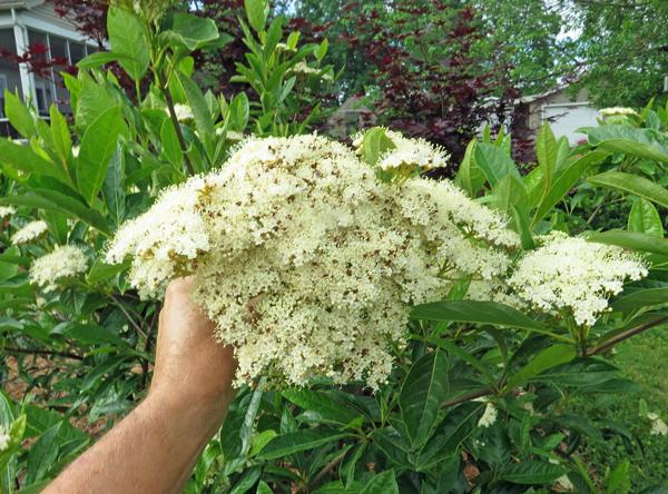 closeup of Brandywine viburnum flowers