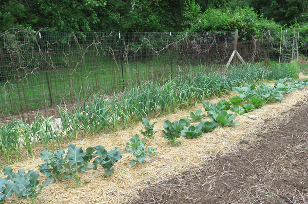 beds with brassicas planted
