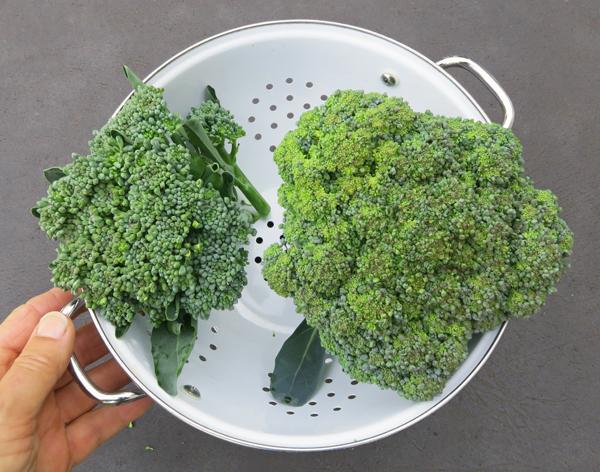 Apollo(L) and Gypsy(R) broccoli