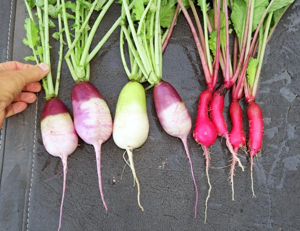 Sweet Baby and Shunkyo radishes