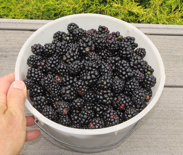 Apache and Natchez blackberries