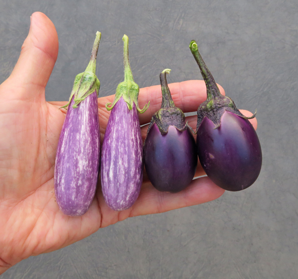 Fairy Tale and Patio Baby eggplant