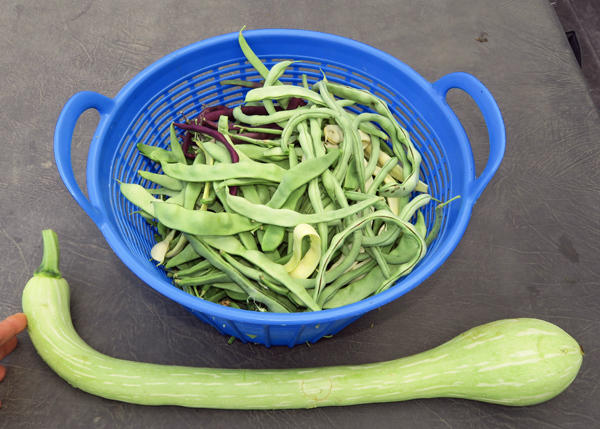 beans and tromboncino squash
