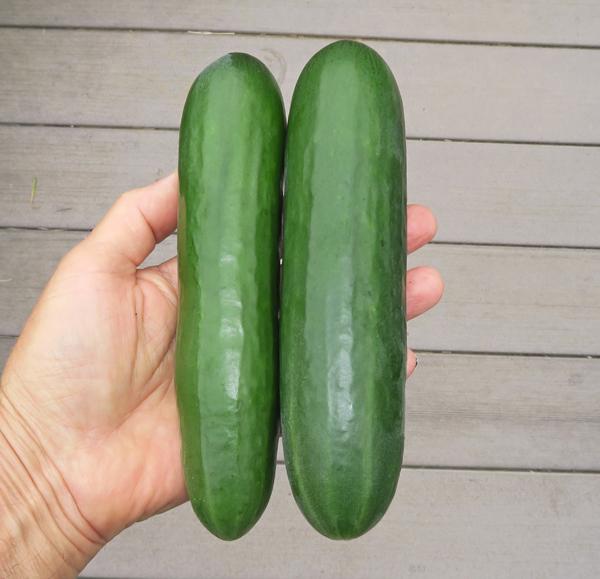 Socrates cucumbers