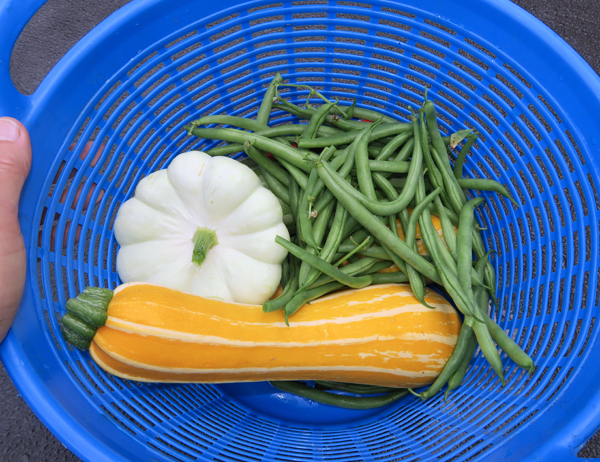 squash and snap beans