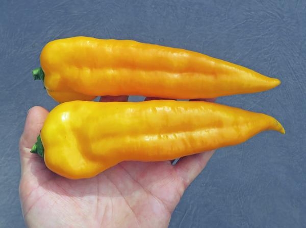 Cornito Giallo peppers