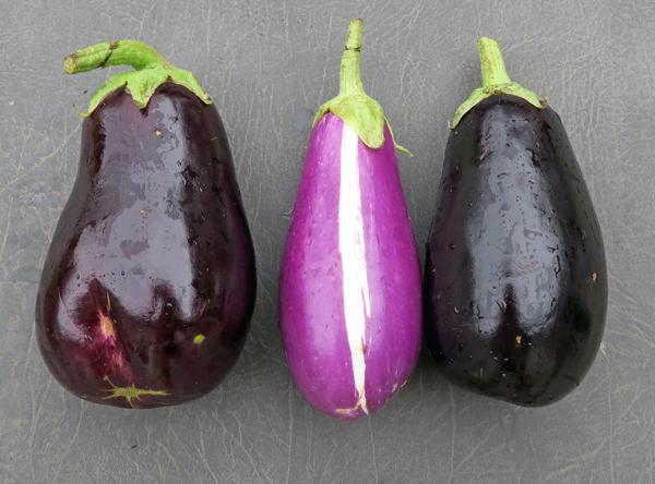 Nadia, Dancer and Galine eggplant