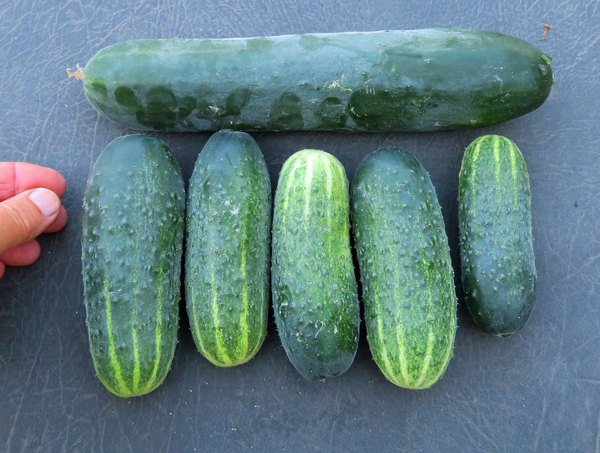 Corinto and Excelsior cucumbers