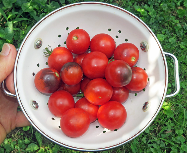 Midnight Snack tomatoes