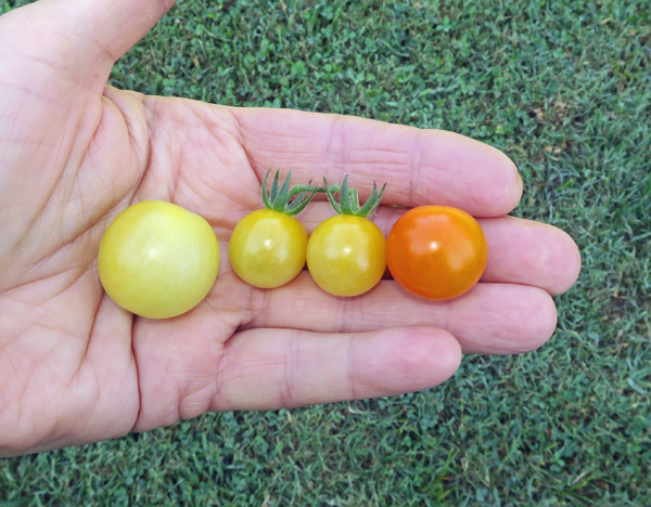 Snow White, Champagne Cherry and Sun Gold tomatoes