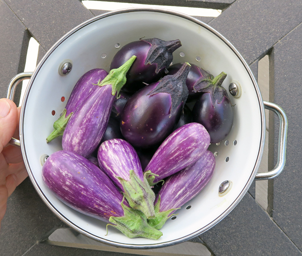 Fairy Tale and Patio Baby eggplants