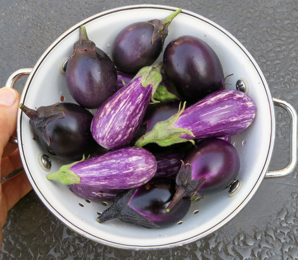 Patio Baby and Fairy Tale eggplants