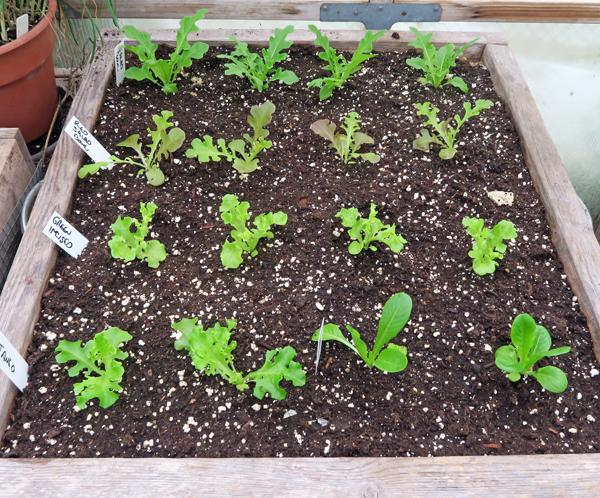 lettuce in salad box