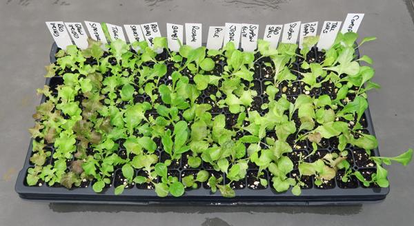 plug flat of lettuce seedlings