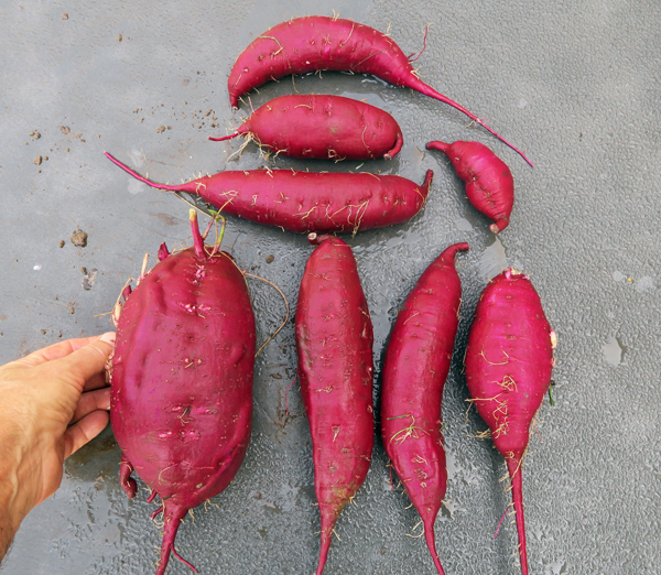 results from first hill of Purple sweet potatoes