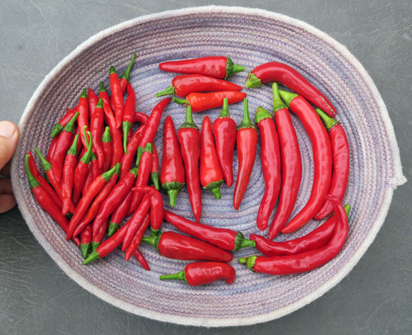 Korean Hot, Lady Hermit and Lady Choi peppers