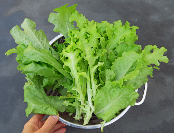 lettuce from greenhouse