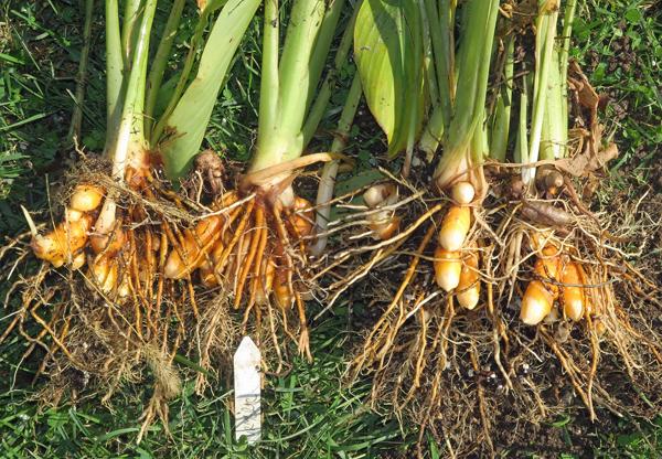 freshly dug turmeric roots