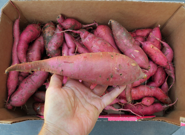 Redmar sweet potatoes
