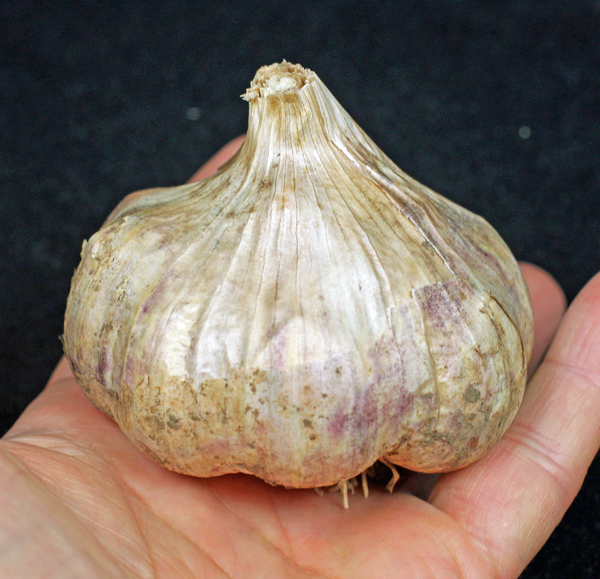 big bulb of Red Toch garlic
