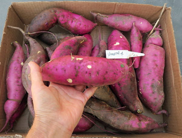 Violetta sweet potatoes