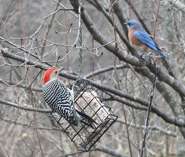 woodpecker and bluebird