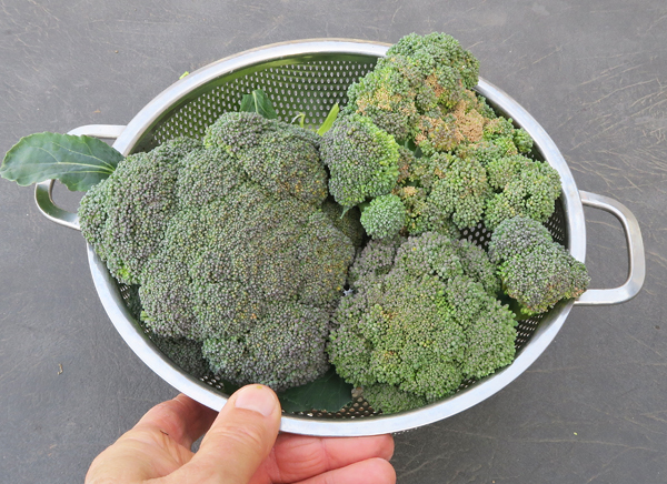 last of the broccoli