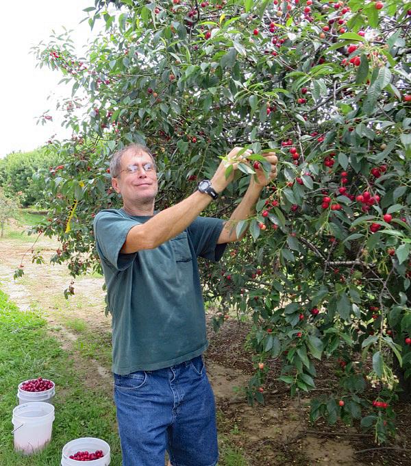me harvesting cherries