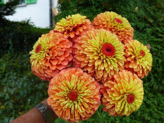 Zinnia Queeny Lime Orange
