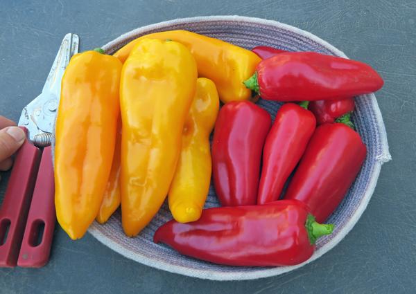 Cornito Giallo and Cornito Rosso peppers