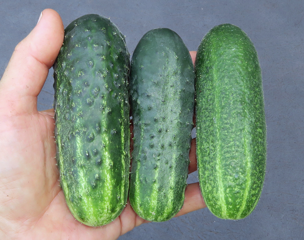 Vertina, Excelsior and Harmonie cucumbers