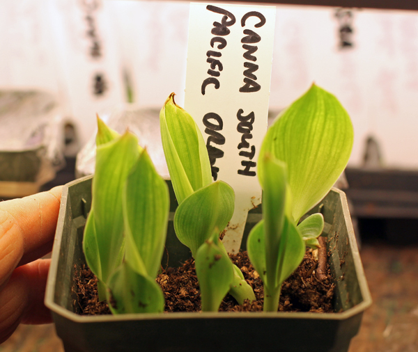Canna South Pacific Orange seedlings