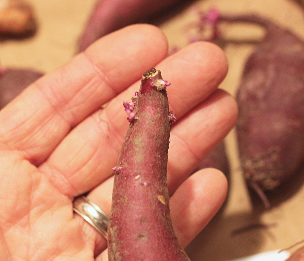Korean Purple sweet potato sprouting