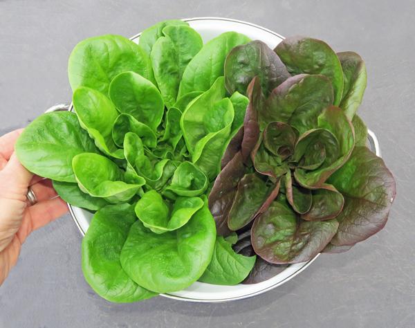 Salanova Butter lettuce