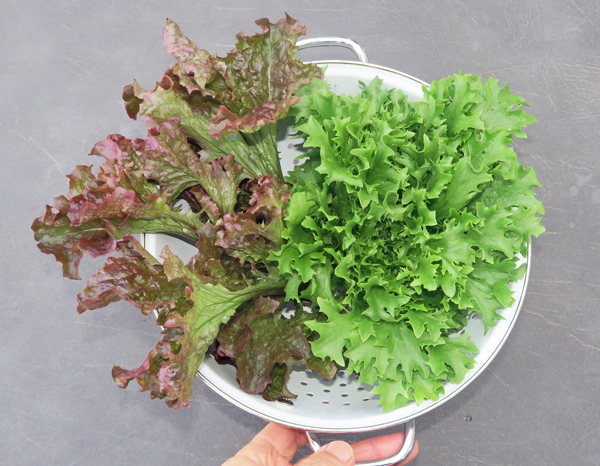 Spritzer and Tango lettuce