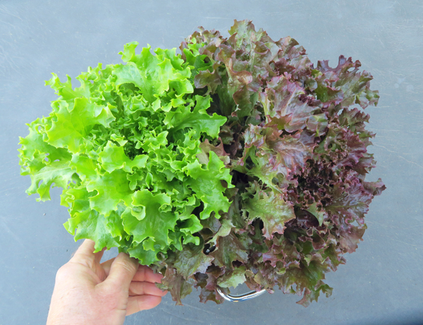 Tango and Spritzer lettuce