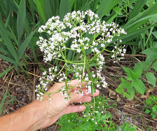 fragrant blooms of Valerian