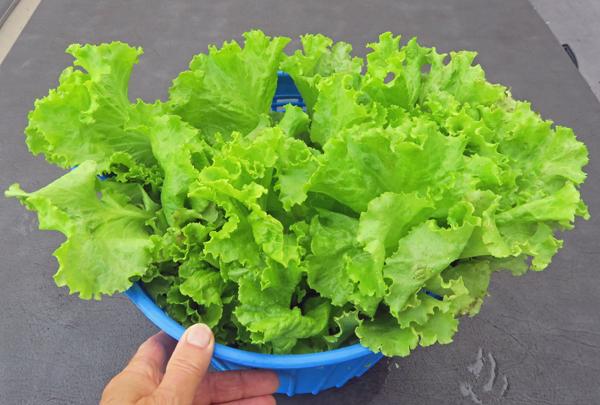 Simpson Elite lettuce