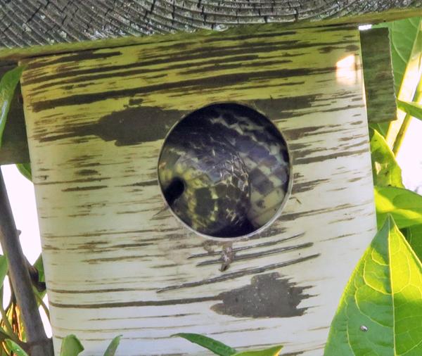 snake in bluebird nest box